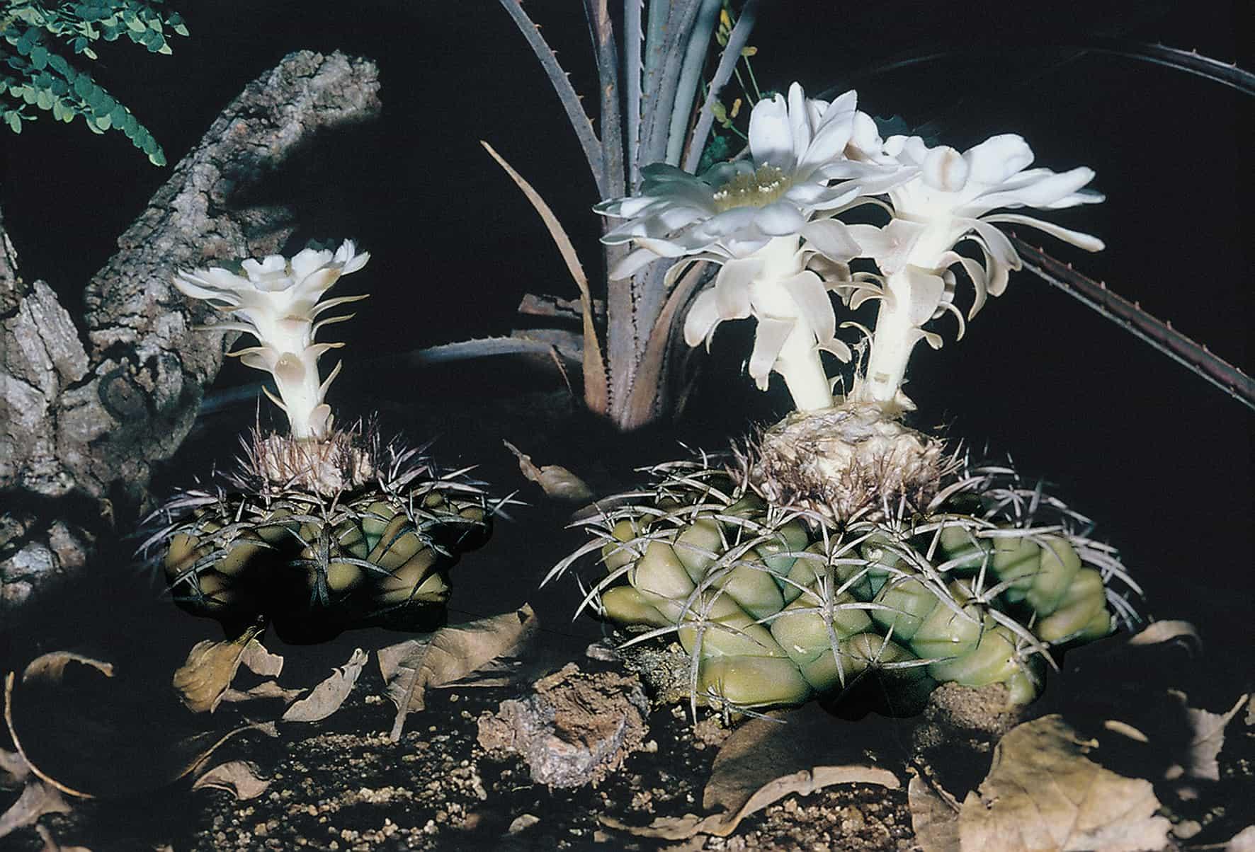 Discocactus subterraneo-proliferans