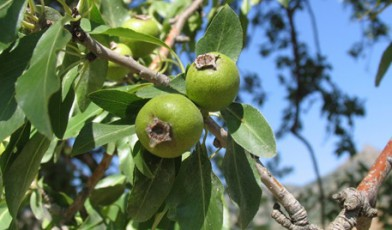 Gergeranian Pear