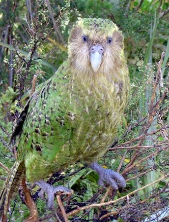 Regreso al Milenio Perdido - Página 4 Kakapo
