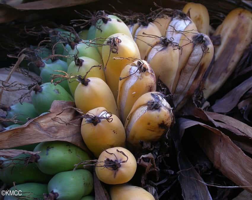 Madagascar Banana