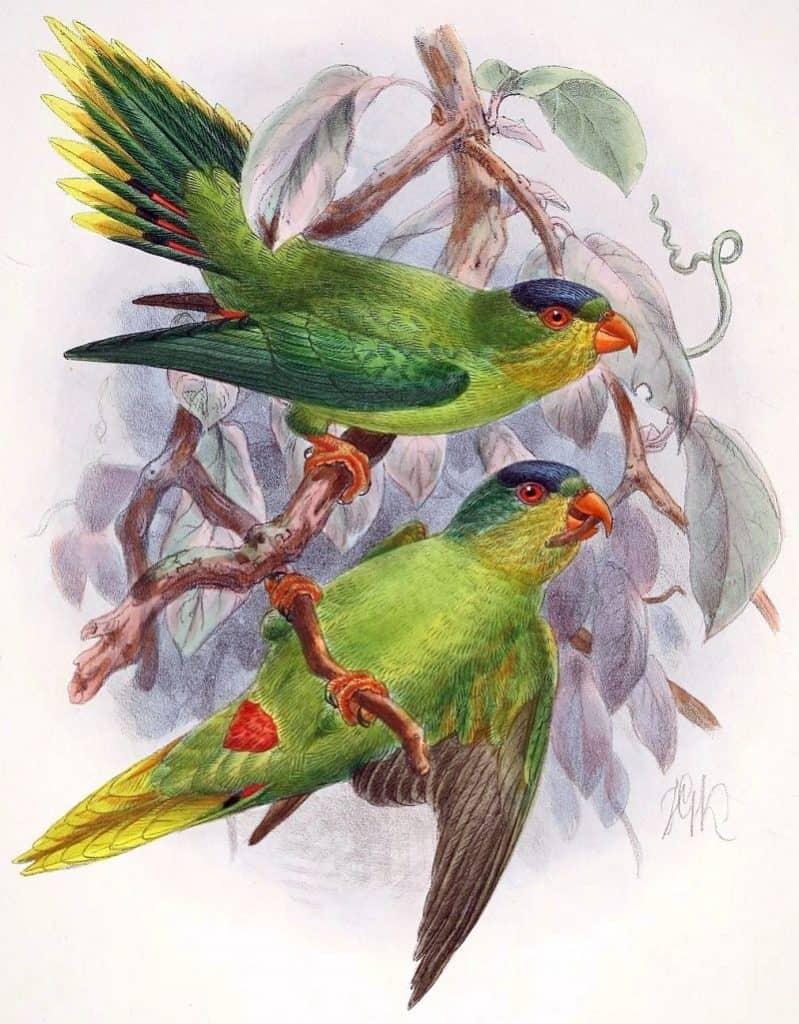 New Caledonian Lorikeet
