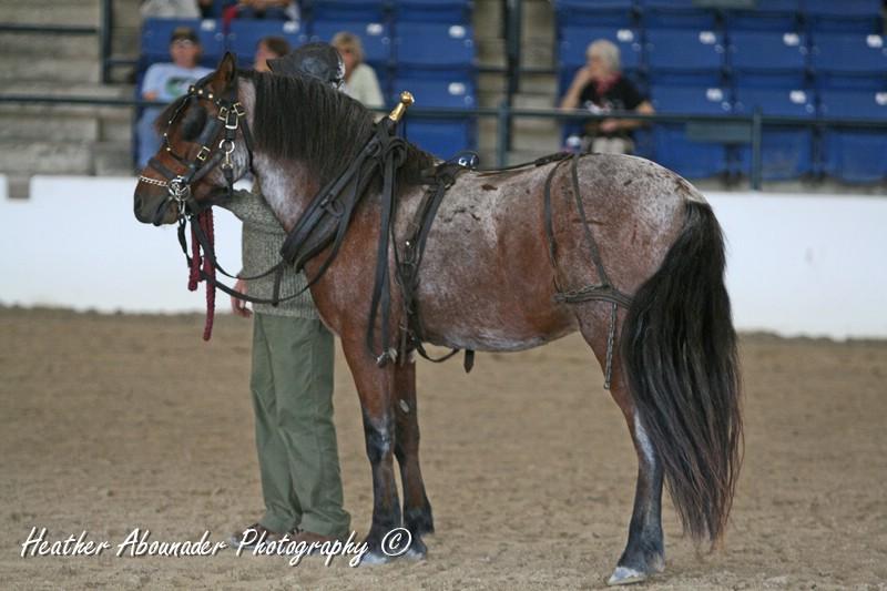 Newfoundland Pony