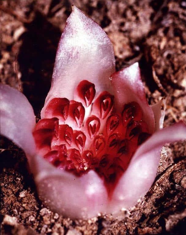 Western Underground Orchid