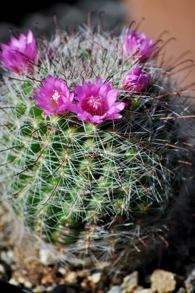Rose Pincushion Cactus