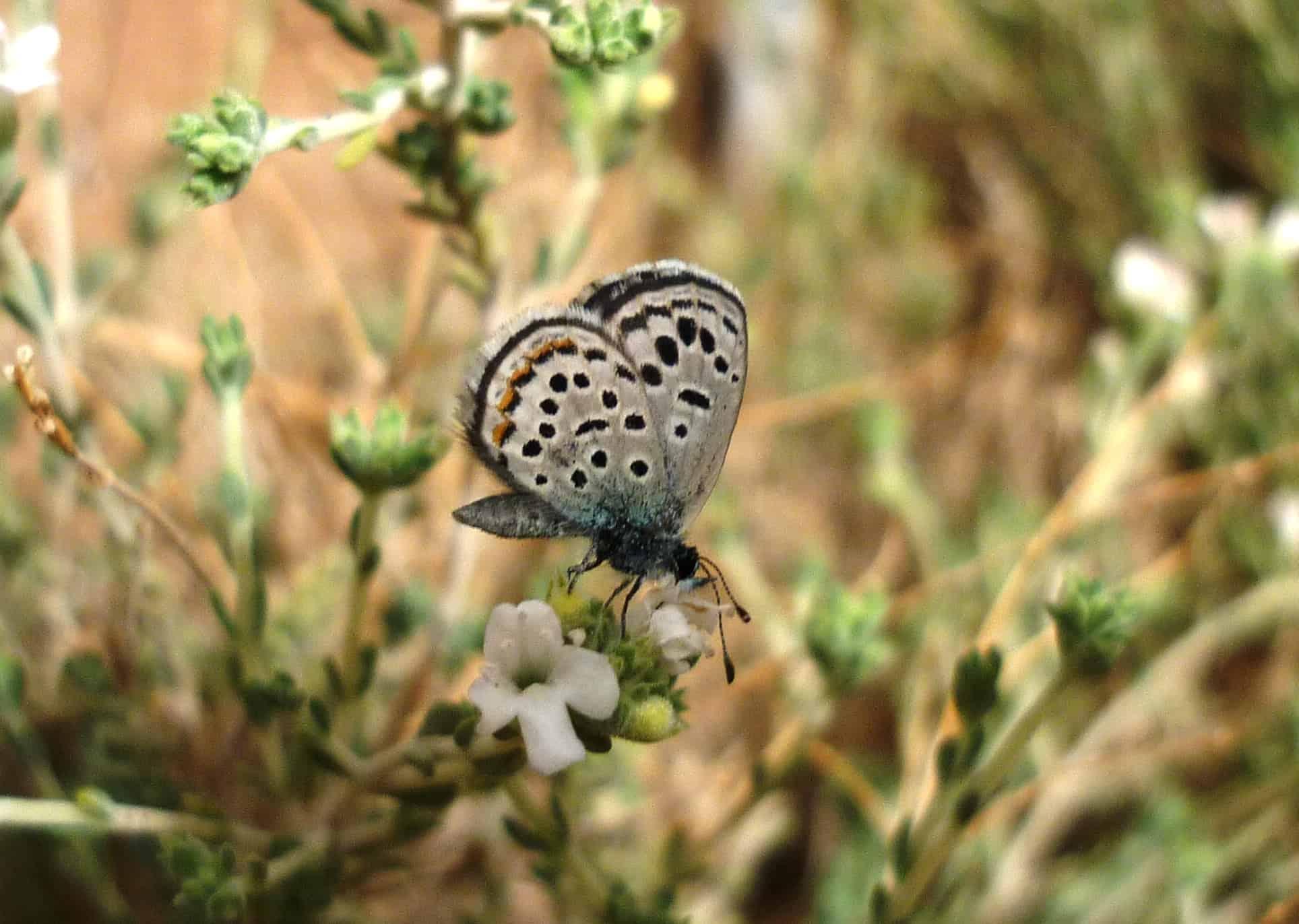 Sinai Baton Blue