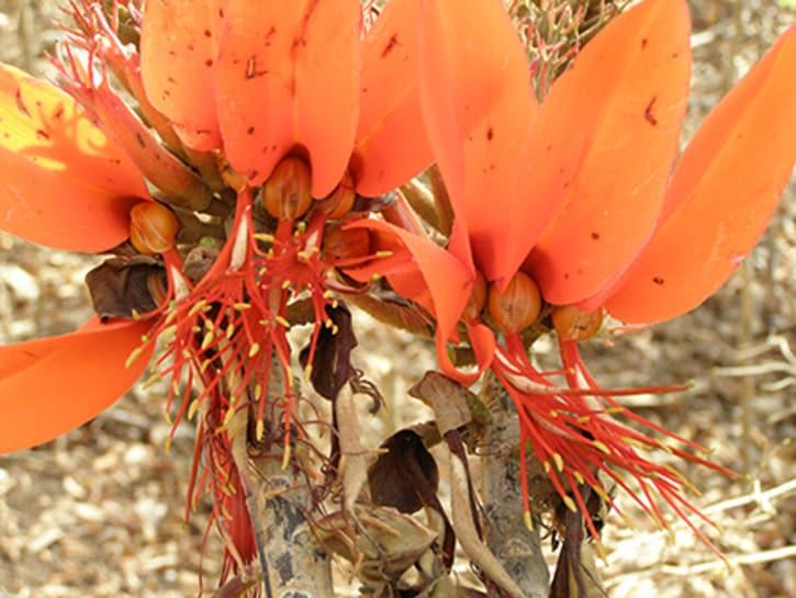 Tanzania Coral Tree