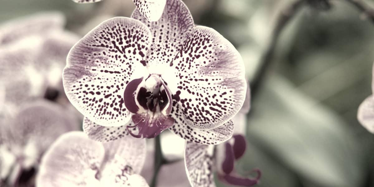 rarest-orchids