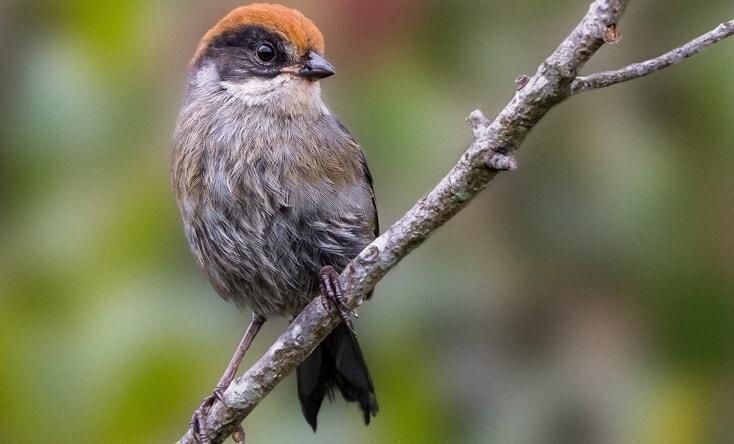 Antioquia Brushfinch