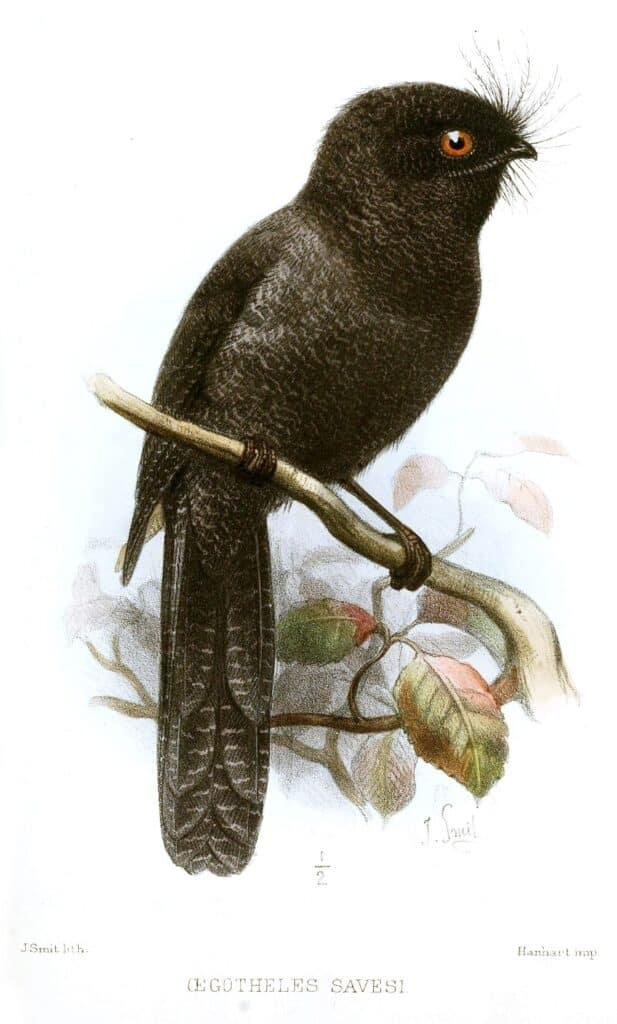 New Caledonian Owlet-Nightjar
