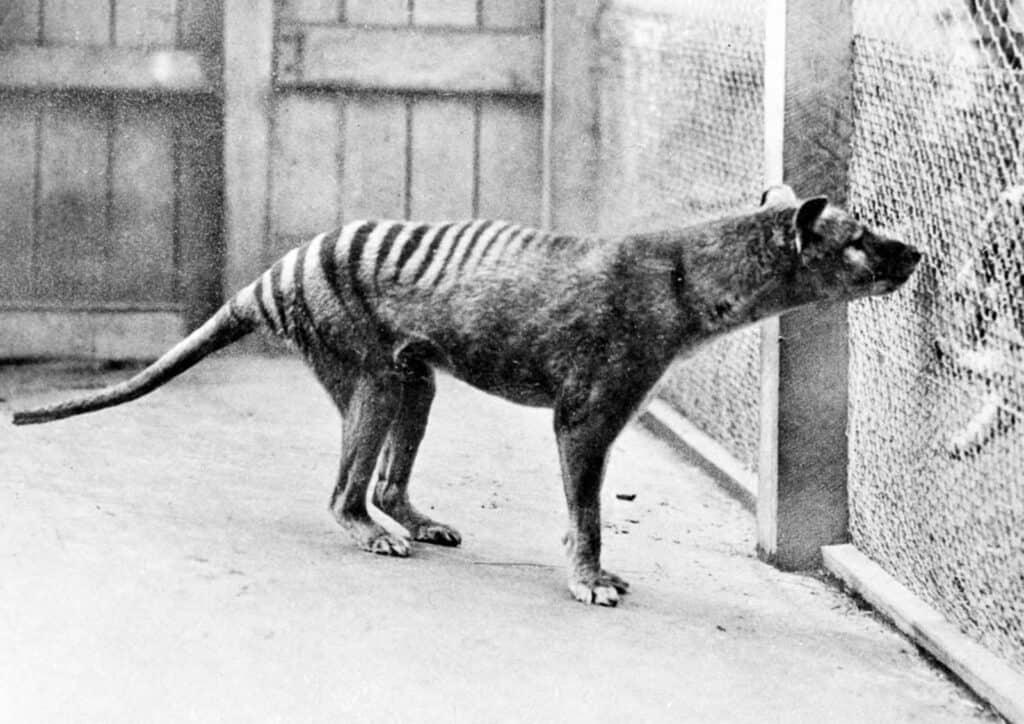 One of the Last Tasmanian Tigers