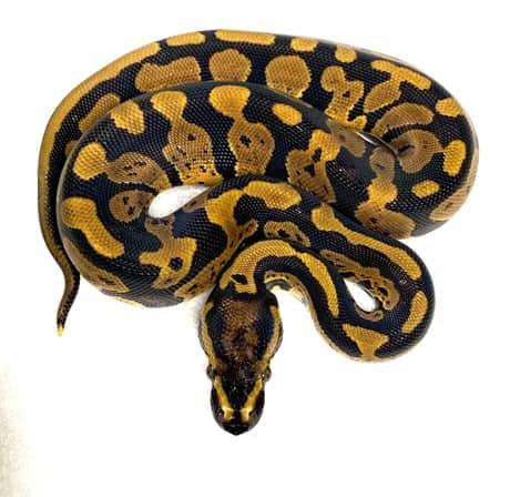 Acid Ball Python