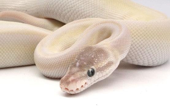 Blue-Eyed Leucistic Python