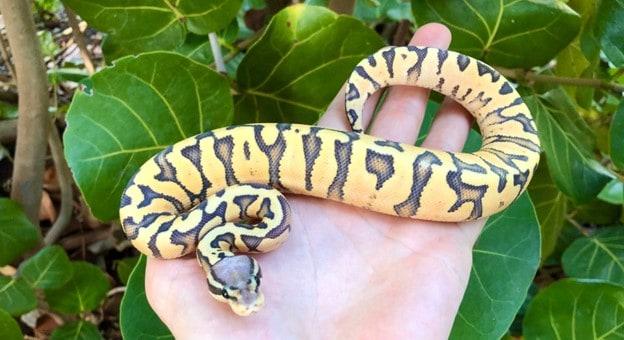 Pastel Zebra Python Morph