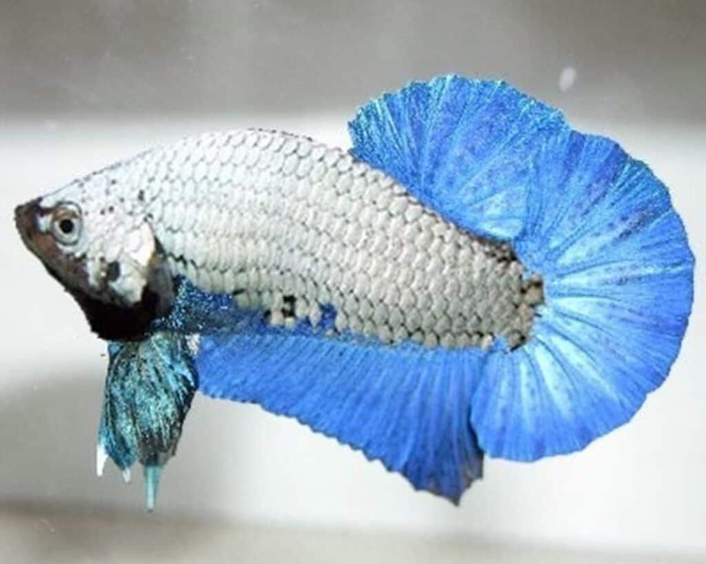 True Blue Dragon