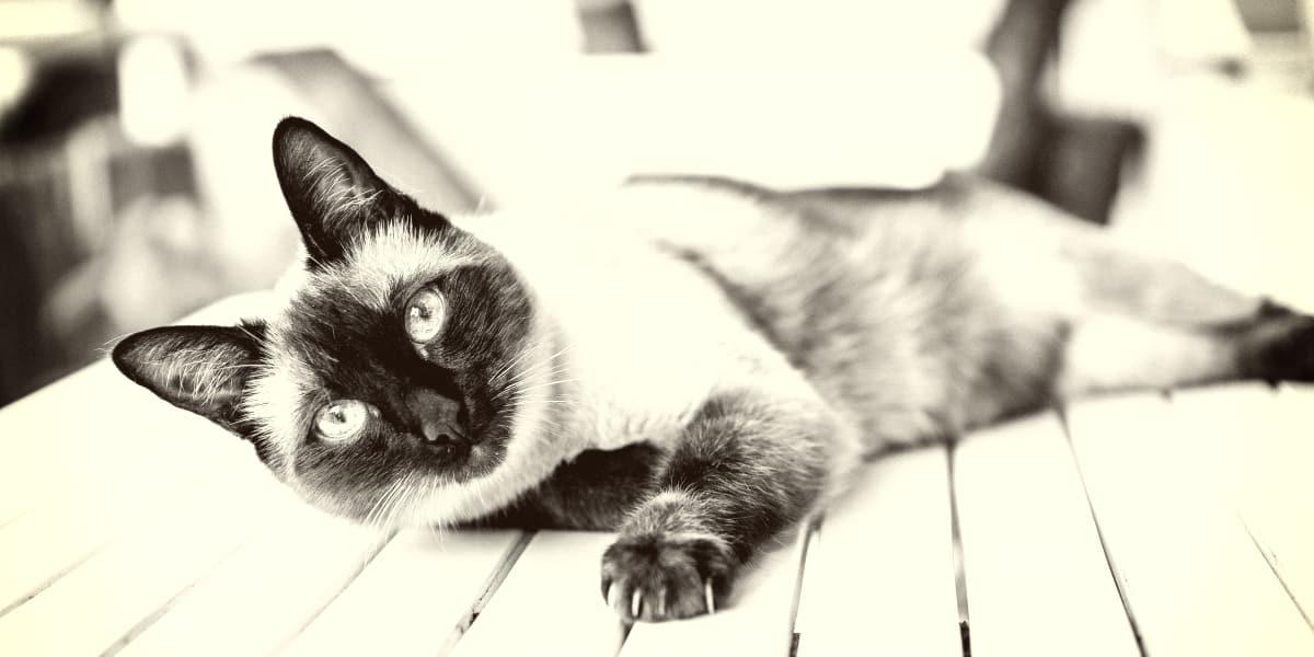 Rarest Siamese Cats