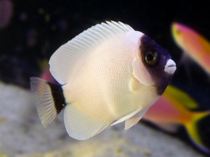 The Masked Angelfish