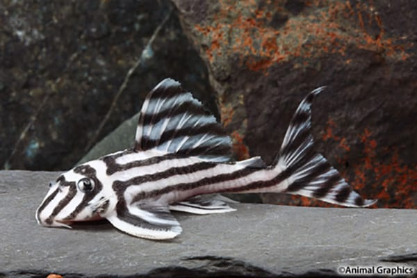 Zebra Plecos